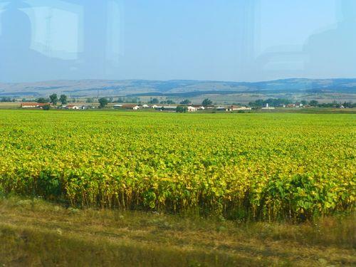 21 Sunflowers
