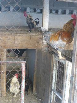 153 Chickens