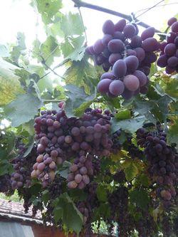 154a Grapes